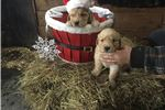 Picture of Akc golden retriever puppy