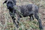 Gorgeous , Typey Brindle and Apricot Female  | Puppy at 27 weeks of age for sale