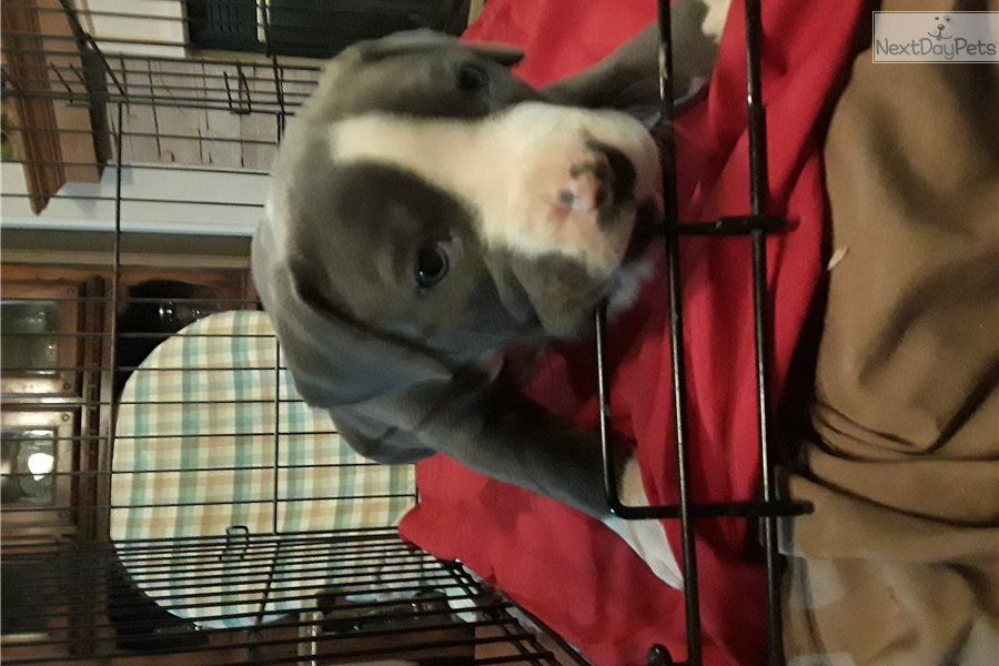 Wilson: American Pit Bull Terrier puppy for sale near ...