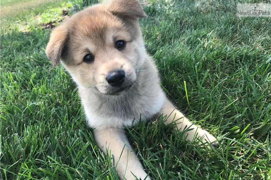 Emmet: Pomsky puppy for sale near Iowa City, Iowa ...