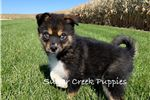 Picture of Lexi --  Female Pomsky Puppy