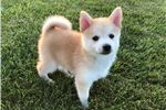 Picture of Evee - Female Pomsky Puppy