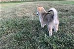 Picture of Elana  --  Female Pomsky Puppy