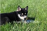 Picture of Josie - Female Pomsky Puppy