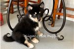 Picture of Lani --  Female Pomsky Puppy