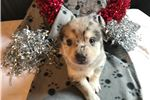 Picture of Carmen  --  Female Pomsky Puppy