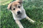 Picture of Emmet --  Male Pomsky Puppy