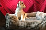 Picture of Angel  - Female Pomsky Puppy