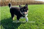 Picture of Jewel - Female Pomsky Puppy