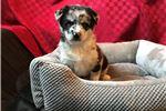Picture of Buddy  -  Male Pomsky Puppy