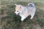 Picture of DUKE  --  Male Pomsky Puppy