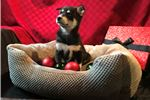 Picture of Abella - Female Pomsky Puppy