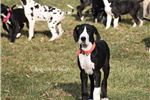 Picture of AKC Champion American Bloodlines Mantle Males
