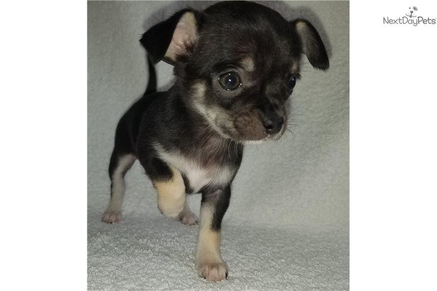 Chihuahua Puppy For Sale Near Omaha Council Bluffs Nebraska