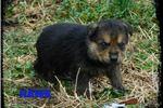 Picture of CUTENESS OVERLOAD!! German Shepherd Puppies!!!