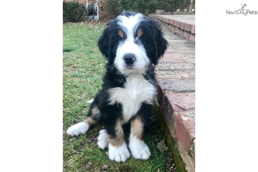 Bernedoodles Bernedoodle Puppy For Sale Near Western Ky