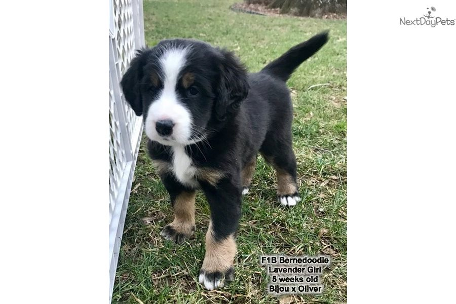 Lavender Girl Bernedoodle Puppy For Sale Near Western Ky