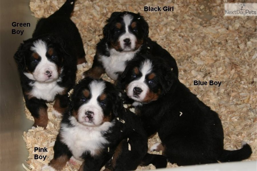 Bernese Puppies Bernese Mountain Dog Puppy For Sale Near Western Ky