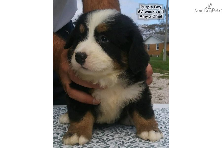 Purple Boy Bernese Mountain Dog Puppy For Sale Near Western