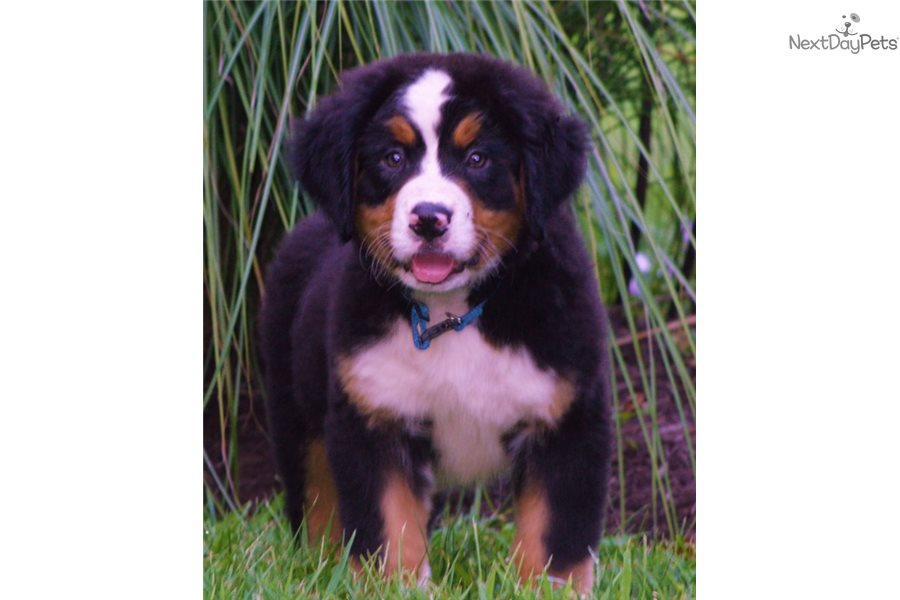 Tucker Bernese Mountain Dog Puppy For Sale Near Western Ky