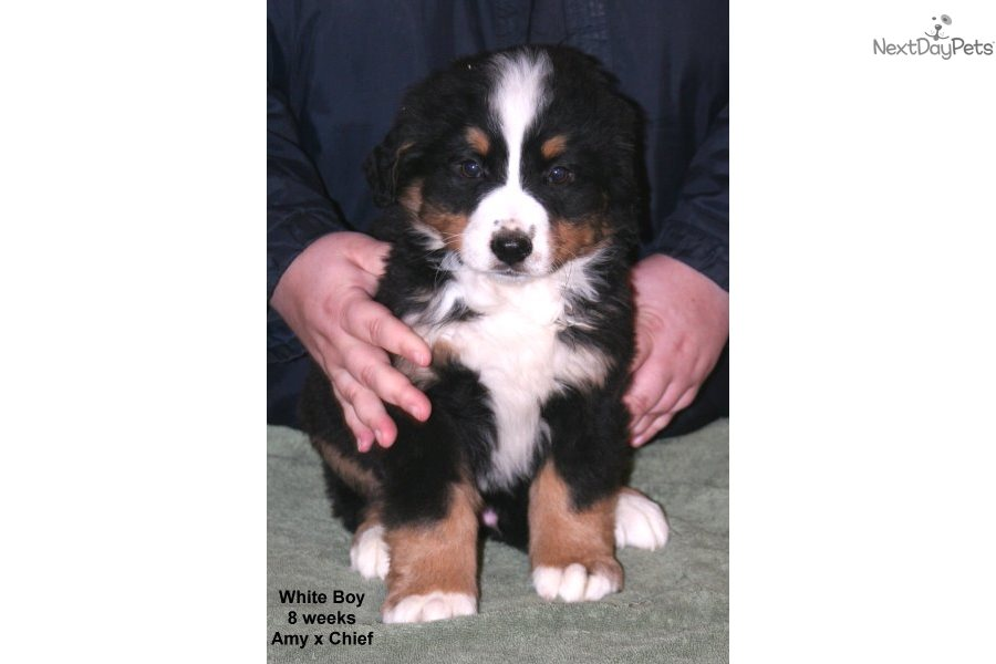 White Boy Bernese Mountain Dog Puppy For Sale Near