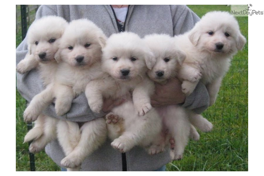 Great Pyr Puppies: Great Pyrenees puppy for sale near ...