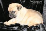Picture of Female Puggle - 3/4 Pug & 1/4 Beagle