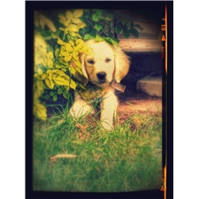 View full profile for Country Pearls Golden Retrievers