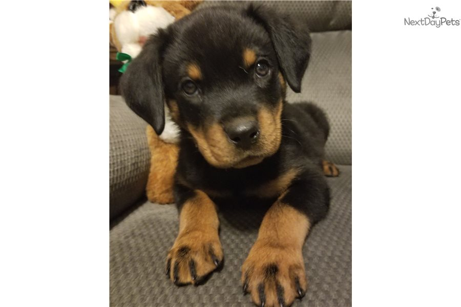 Draven Rottweiler Puppy For Sale Near Denver Colorado 1ea85848 C3d1