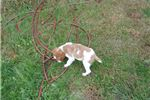 Picture of Brittany Spaniel Puppy