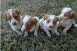 Picture of AKC Registered Brittany Spaniel Puppy for sale