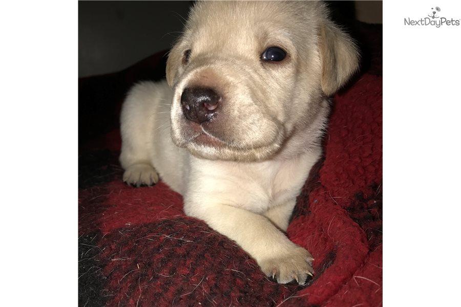Jasper Labrador Retriever Puppy For Sale Near Jacksonville Florida