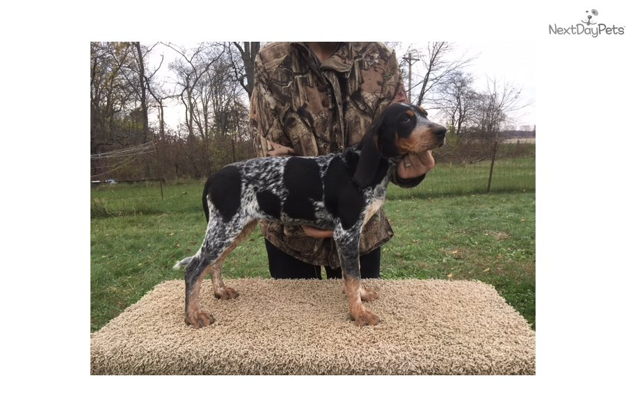 Honey Bluetick Coonhound Puppy For Sale Near Toledo Ohio