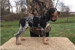 Picture of UKC 5 Month Old Female 4 Sale