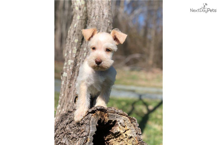 Black Collar: Schnauzer, Miniature puppy for sale near ...