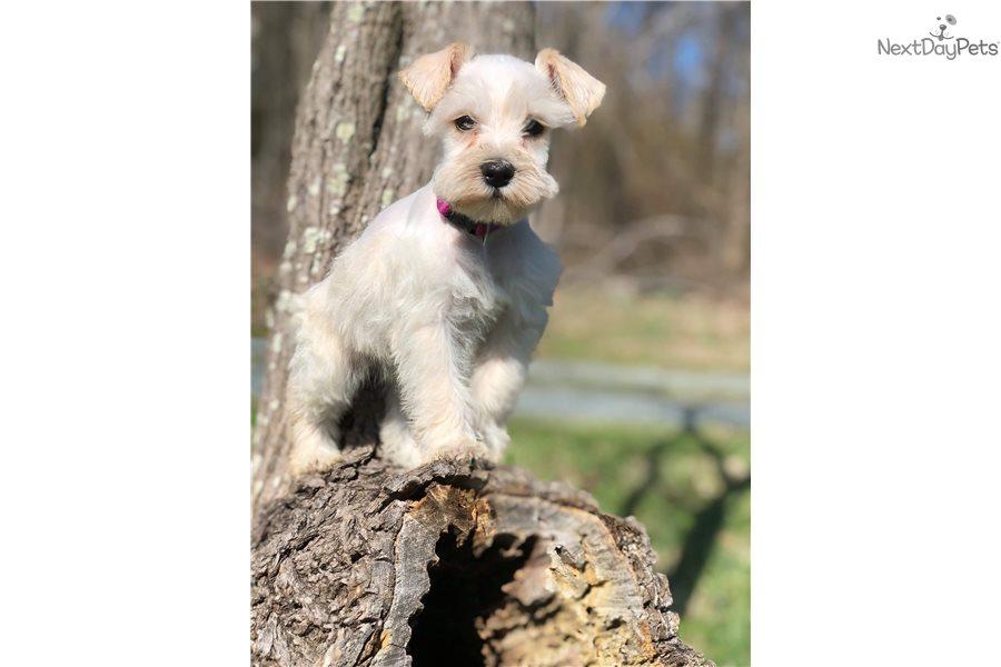Purple Collar : Schnauzer, Miniature puppy for sale near ...