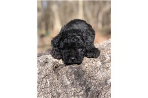 Picture of Schnoodle