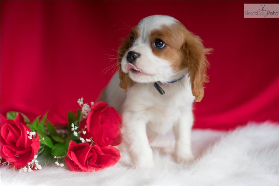 Cavalier King Charles Spaniel Dogs For Sale In Ohio