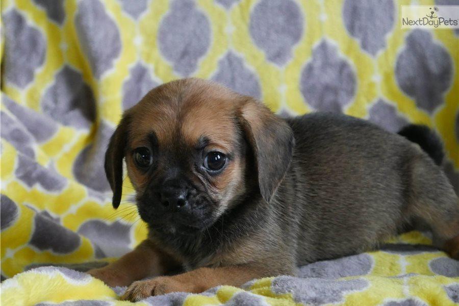 Puggle puppy for sale near Akron / Canton, Ohio | df08ebfc-0ea1