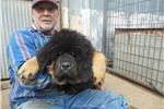 Tibetan Mastiff for sale