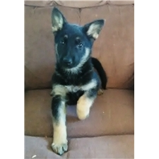 View full profile for German Shepherds