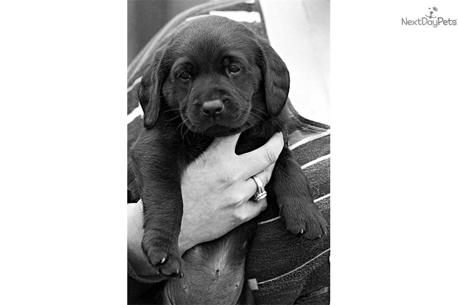 Black Lab Puppies For Sale In Fort Worth Texas idea gallery