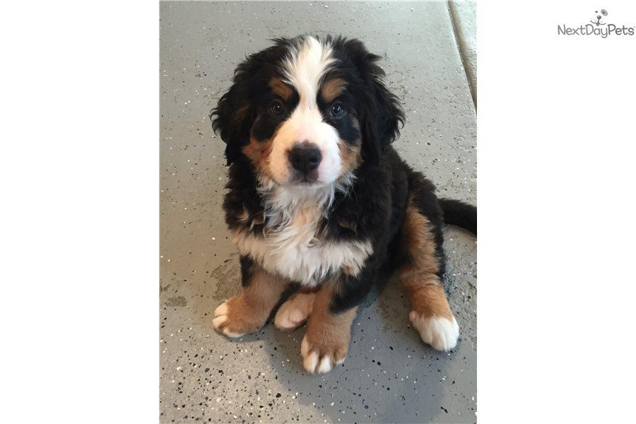Bernese Mountain Dog Puppy For Sale Near Lincoln Nebraska