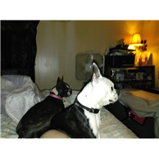 View full profile for M&B's Boston Terriers
