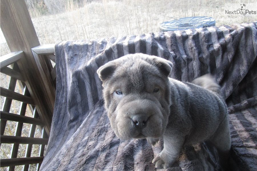 Rose: Chinese Shar-Pei puppy for sale near Tulsa, Oklahoma