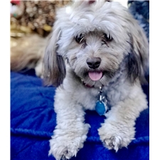 View full profile for Simply Havanese
