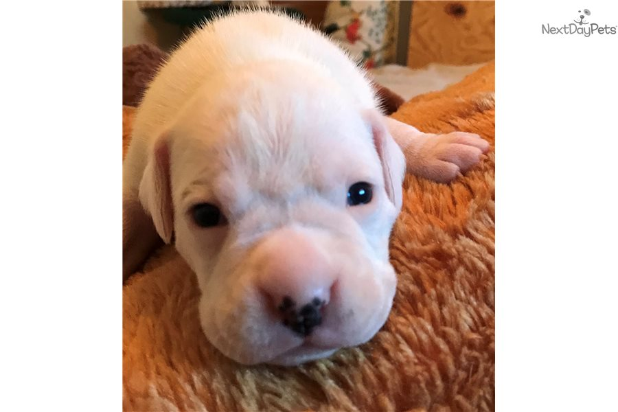 White Boxer Boxer Puppy For Sale Near Ft Myers Sw Florida Florida 0aee9c02 66a1