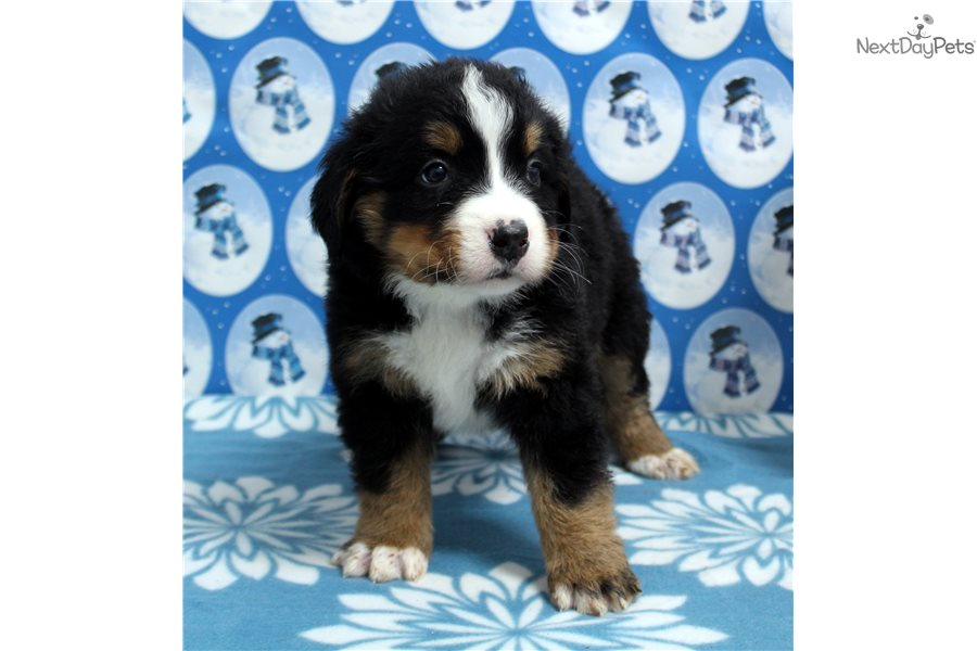 Bernese Mountain Dog Puppies For Sale In Indiana