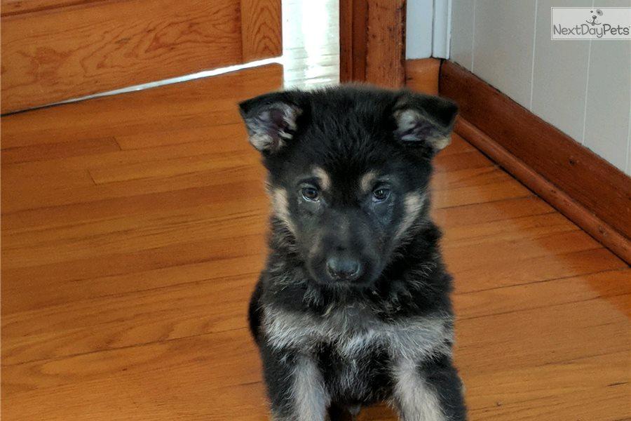 Curio: German Shepherd puppy for sale near Champaign Urbana