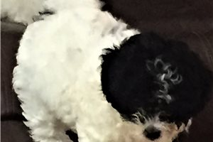 Shih Poo Litter  | Puppy at 11 weeks of age for sale